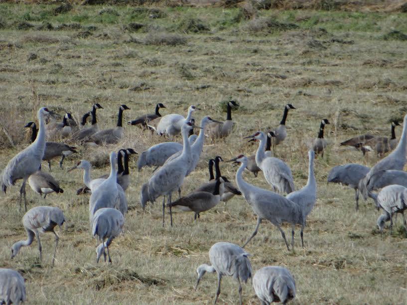 Cranes & Geese