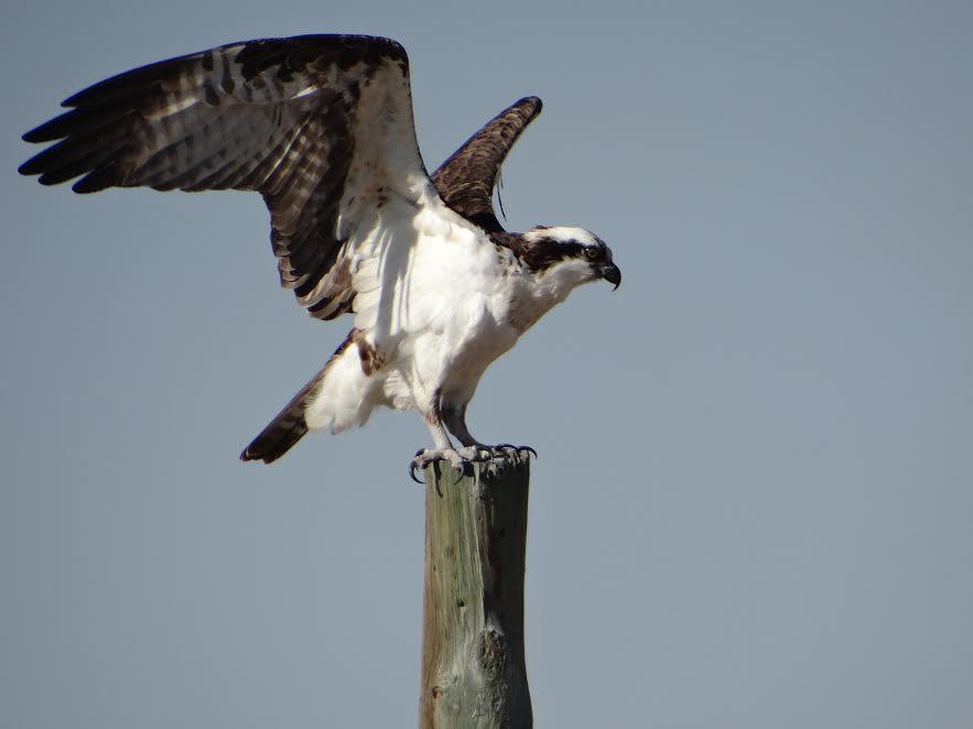 Osprey Wings Open