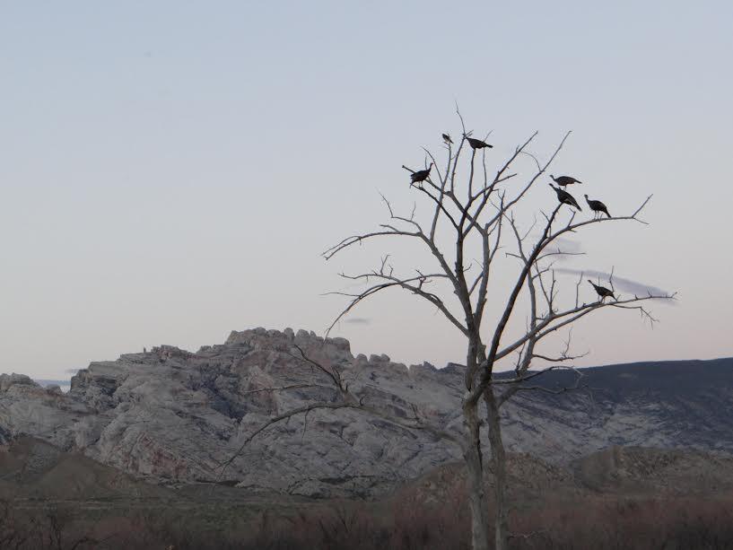 Turkeys in Tree