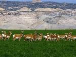 Escalante Ranch Antelope in Field