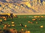 Escalante Ranch Elk in Field
