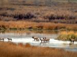 Escalante Ranch Elk in Water
